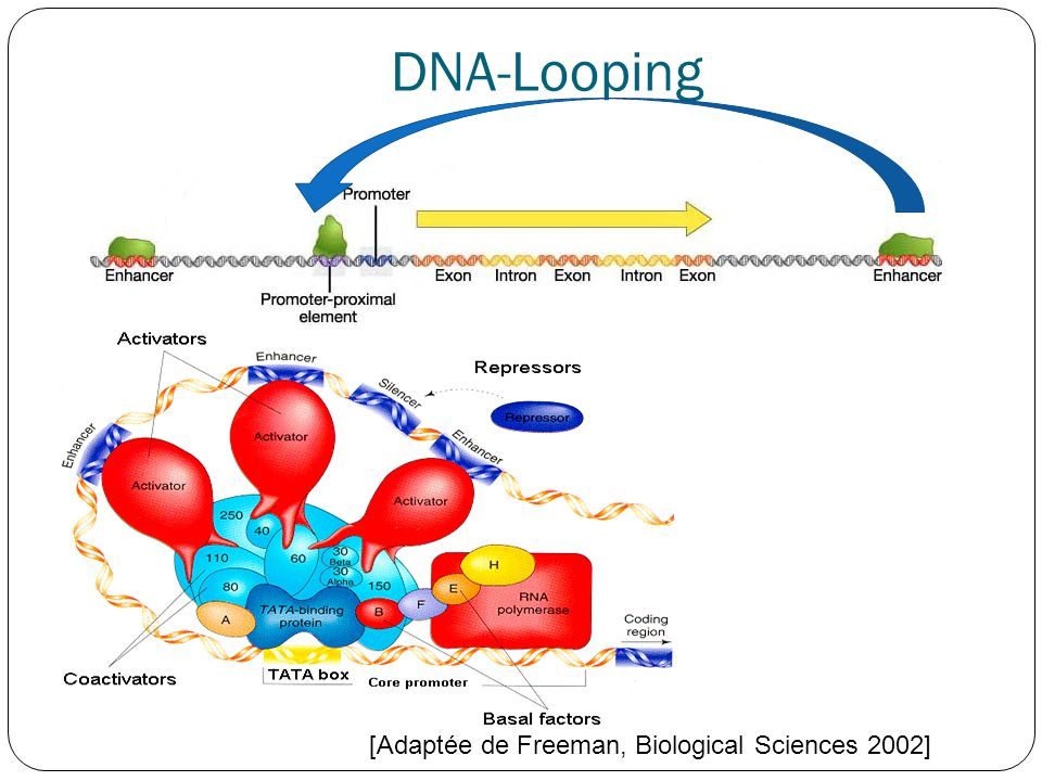 DNA-Looping [Adaptée de Freeman, Biological Sciences 2002]